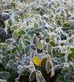 在的第一早晨霜植物, 图库摄影