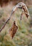 在的第一早晨霜植物, 免版税库存照片