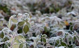 在的第一早晨霜植物, 库存照片