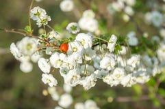 在的红色瓢虫白花 免版税库存图片