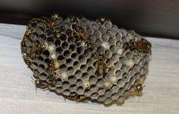 在的黄蜂蜂窝 免版税库存图片
