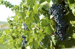 在的黑葡萄葡萄园 免版税库存图片