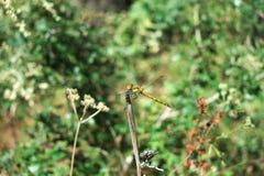 在的蜻蜓坐植物 免版税库存图片