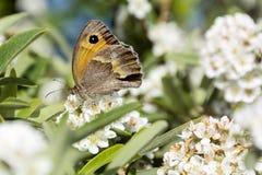 在的蝴蝶白花-宏指令 免版税库存图片