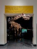在的Dinossaur Fossile模型美国自然历史博物馆AMNH -纽约,美国 免版税图库摄影