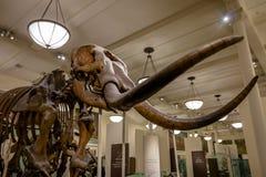 在的Mamooth Fossile模型美国自然历史博物馆AMNH -纽约,美国 库存图片