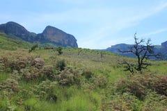 在皇家新生森林草绿色领域的被烧的resprouter树干 免版税图库摄影