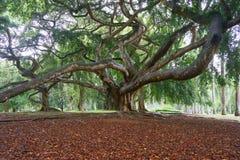 在皇家植物园的老树, Peradeniya,斯里兰卡 免版税库存照片