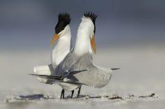 在皇家燕鸥夫妇的求爱 免版税库存照片