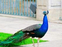 在皇家Lazienki的五颜六色的孔雀, Lazienki公园 Wasraw,波兰 库存照片