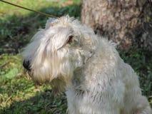在皮带的一条白色狗 库存照片