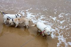 在皮带的三条小白色狗在水渐近在海滩在一有风湿天 图库摄影