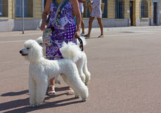 在皮带的两条大白色长卷毛狗 库存照片