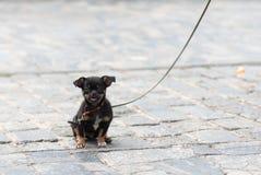 在皮带的小狗 免版税库存照片