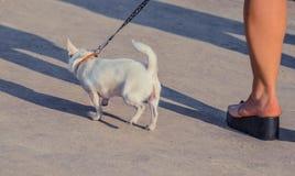 在皮带的滑稽的白色玩具狗狗 俄国人玩具狗画象  图库摄影
