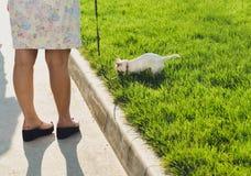 在皮带的滑稽的白色玩具狗狗 俄国人玩具狗画象  库存图片