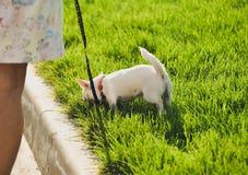 在皮带的滑稽的白色玩具狗狗 俄国人玩具狗画象  免版税库存照片