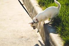 在皮带的滑稽的白色玩具狗狗 俄国人玩具狗画象  库存照片