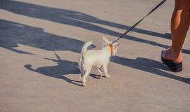 在皮带的滑稽的白色玩具狗狗 俄国人玩具狗画象  免版税库存图片