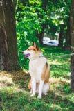 在皮带的狗品种西部西伯利亚laika在trees_中的公园 免版税库存照片