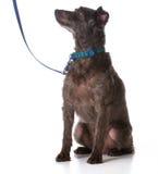 在皮带的狗 图库摄影