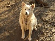 在皮带的白色狗 免版税图库摄影