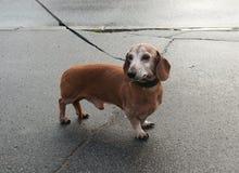 在皮带的老达克斯猎犬站立 免版税图库摄影