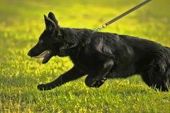 在皮带的黑牧羊人小狗 免版税库存照片