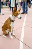在皮带的Basenji狗 画象 图库摄影