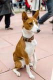 在皮带的Basenji狗 画象 库存图片