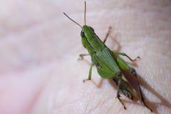 在皮肤的蟋蟀 免版税库存照片