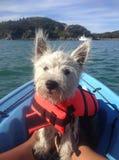 在皮船的西部高地狗在救生衣 库存照片