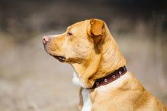 在皮革衣领的美丽的红色狗 免版税库存照片