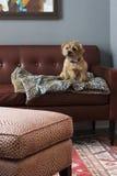 在皮革长沙发的狗 免版税库存图片