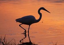 在盐水湖现出轮廓的伟大的白鹭在日落- Estero海岛, F 免版税库存照片