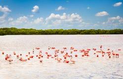 在盐水湖里约拉加托斯,尤加坦,墨西哥的火鸟 库存图片