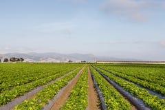 在盐沼谷,加利福尼亚的草莓领域 免版税图库摄影