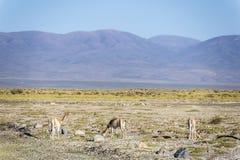 在盐沼Grandes的骆马在Jujuy,阿根廷 免版税库存照片