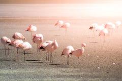 在盐湖拉古纳Hedionda,安地斯山的Altiplano,玻利维亚,南美的桃红色火鸟 图库摄影