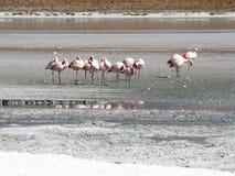 在盐湖拉古纳Hedionda,安地斯山的Altiplano,玻利维亚,南美的桃红色火鸟 库存照片
