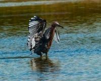 在盐潮汐水池的带红色白鹭狩猎 库存照片