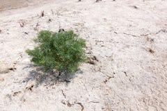 在盐白色土地的唯一树 库存图片