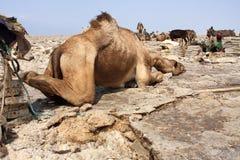 在盐矿工Danakil消沉的,埃塞俄比亚中的睡觉骆驼 免版税库存图片