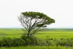 在盐水沼泽的孤立小橡树树塔 库存图片