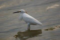 在盐水湖委内瑞拉的雪白鹭 图库摄影