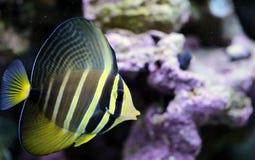 在盐水礁石的黄色Sailfin特性 免版税库存图片
