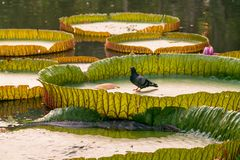 在监控蜥蜴旁边的鸽子在他们的泡影 免版税库存图片
