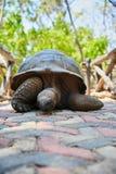 在监狱海岛上的巨型草龟在桑给巴尔 图库摄影