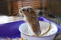 在监狱背景的常设锁着的老鼠 免版税库存照片