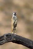 在监视义务的Meerkat 免版税库存图片